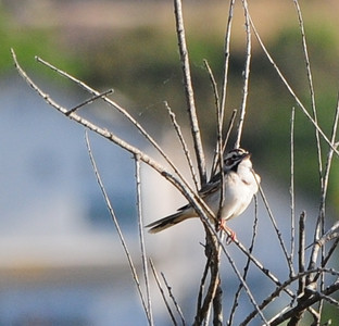 Lark Sparrow -  Lake Hodges  - 5/27/12