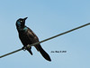 Common Grackle, Decorah Iowa. 6/27/13