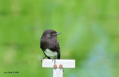 Black Phoebe - Whelan Lake - 10/12/13