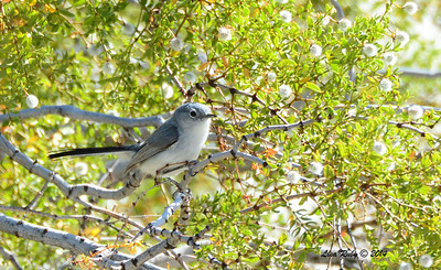 Same bird as last photo. Blue-gray or female Black-tailed Gnatcatcher?