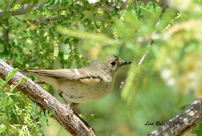 Same bird as previous photo. ID'd as a Ruby-crowned Kinglet in worn plumage