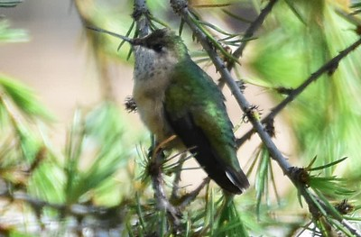 Female Calliope Hummingbird - 4/24/2018 - Point Loma Nazarene University