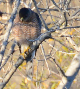 ID'd as Cooper's Hawk. Thought it might have been a Sharp-shinned.
