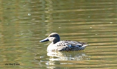 Same Northern Shoveler as in the previous photo.