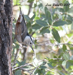 White-breasted Nuthatch  - 10/18/2017 - Wickwood Lane, Prescott, AZ