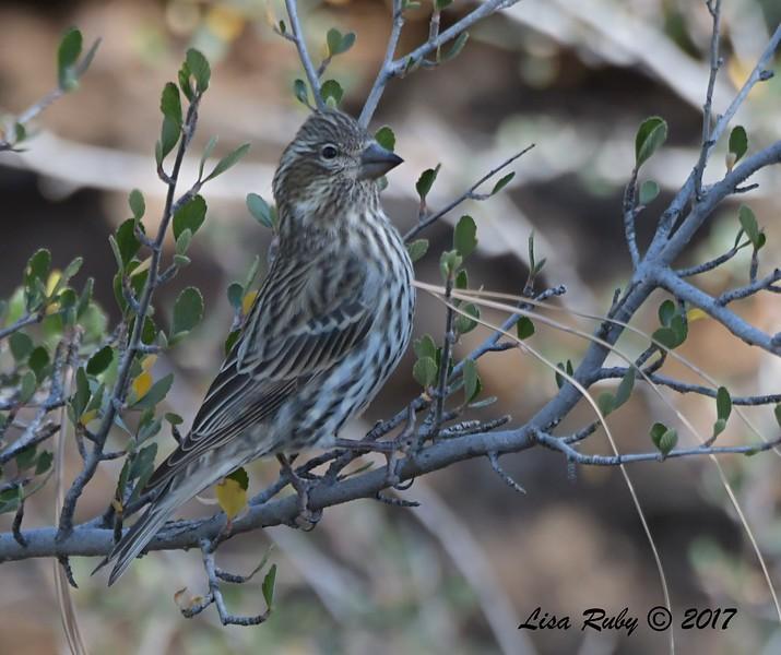 Cassin's Finch - 10/19/2017 - Wickwood Lane, Prescott, AZ