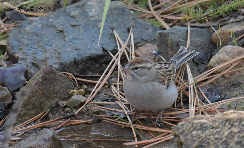 Chipping Sparrow -  10/19/2017 - Wickwood Lane, Prescott, AZ