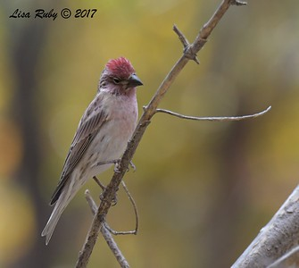 Cassin's Finch - 10/18/2017 - Aspen Creek Trail, Prescott, AZ