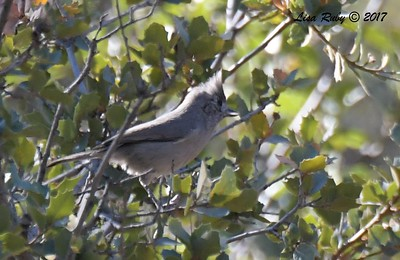 Juniper Titmouse - 10/19/2017 - Wickwood Lane, Prescott, AZ