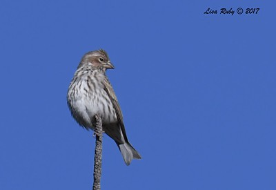 Cassin's Finch - 10/19/2017 - Wickwood Lane, Prescott, AZ