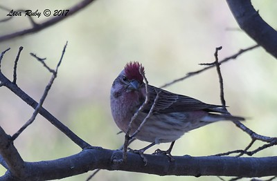 Cassin's Finch - 10/16/2017 - Wickwood Lane, Prescott, AZ
