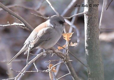 Dark-eyed Junco (Gray-headed) - 10/19/2017 - Wickwood Lane, Prescott, AZ