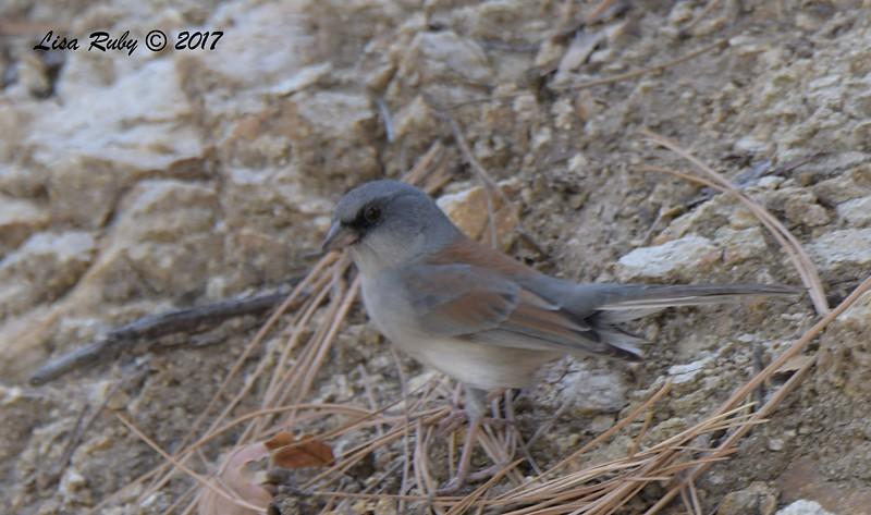 Dark-eyed Junco (Red-backed? - wondering about the red on the wings and coverts. Asked two people about it and nobody is sure. One mention of a possible rare cross between a Red-backed Dark-eyed and Yellow-eyed Junco) - 10/16/2017 - Wickwood Lane, Prescott, AZ
