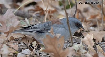 Dark-eyed Junco (Red-backed) - 10/18/2017 - Aspen Creek Trail, Prescott, AZ
