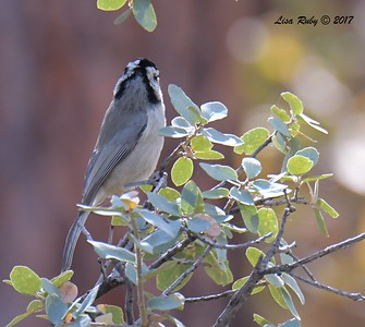 Bridled Titmouse - 10/18/2017 - Wickwood Lane, Prescott, AZ
