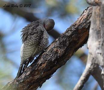 Northern Flicker - 10/18/2017 - Wickwood Lane, Prescott, AZ