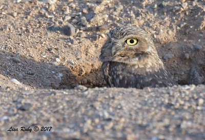 Burrowing Owl - 10/21/2017 - Canal Trail, Scottsdale, AZ