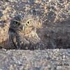 Burrowing Owl - 10/21/2017 - Canal Trail, Scottsdale, AZ