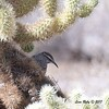 Cactus Wren -  10/21/2017 - McDowell Sonoran Preserve, Scottsdale, AZ