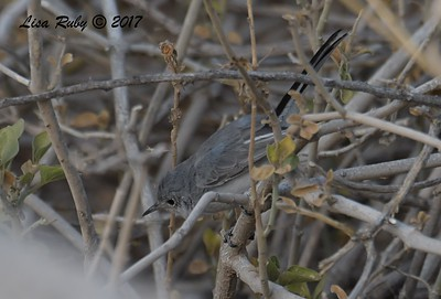Gnatcatcher - probably Blue-Gray - 10/21/2017 - Canal Trail, Scottsdale, AZ