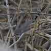 Gnatcatcher Black-tailed?  - 10/21/2017 - Canal Trail, Scottsdale, AZ
