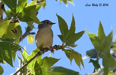 Lucy's Warbler  - 4/18/2016 - Seven Springs Recreation Area, AZ
