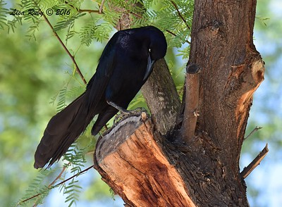 Great-tailed Grackle  - 4/21/2016 - Arizona Canal Trail, Scottsdale, AZ