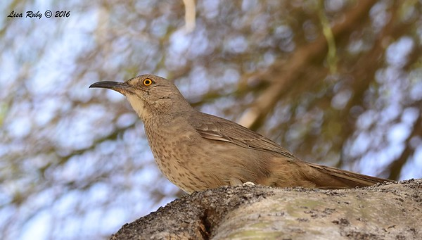 Curve-billed Thrasher - 4/21/2016 - Arizona Canal Trail, Scottsdale, AZ