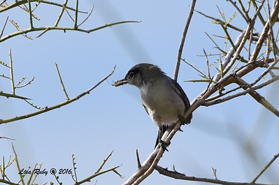 Black-tailed Gnatcatcher - 4/19/2016 - McDowell Sonoran Preserve, Scottsdale, AZ
