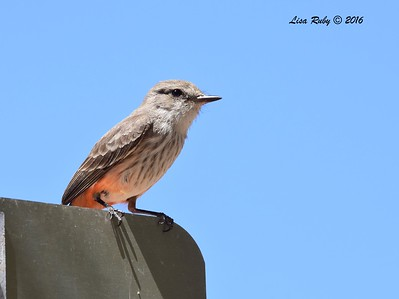 Female Vermillion Flycatcher - 4/19/2016 - Rest Stop on Hwy 60 outside of Wickenburg, AZ