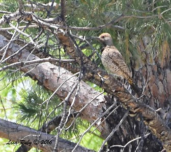Gilded Flicker  - 4/20/2016 - Arizona Canal Trail, Scottsdale, AZ