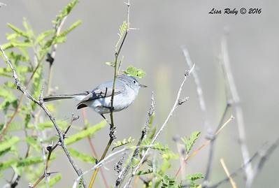 Blue-gray Gnatcatcher - 4/18/2016 - Sear Kay Ruin, AZ