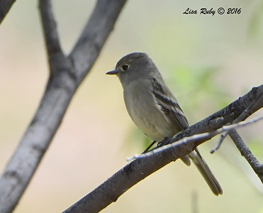 Empid (Hammond's FLycatcher?)  - 4/18/2016 - Seven Springs Recreation Area, AZ