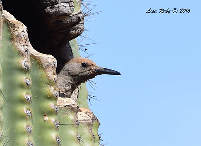 Gilded Flicker  - 4/21/2016 - Arizona Canal Trail, Scottsdale, AZ