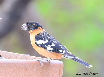Black-headed Grosbeak, appears to be immature male  - 4/20/2014 - Ash Canyon B&B, Hereford, Arizona