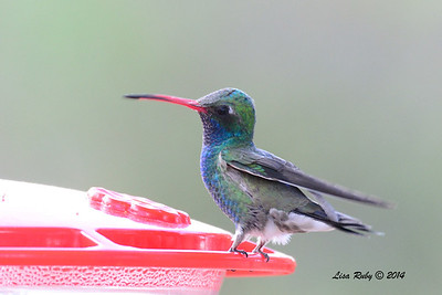 Broad-billed Hummingbird - 4/20/2014 - Ash Canyon B&B, Hereford, Arizona