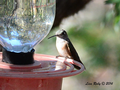 Female Broad-tailed Hummingbird - 4/21/2014 - Beatty's Guest Ranch, Miracle Valley, Arizona