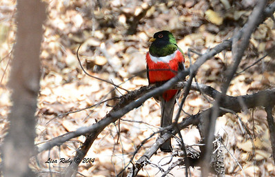Male Trogon - 4/20/2014 - Huachuca Canyon, Sierra Vista, Arizona