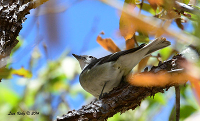 Plumbeous Vireo - 4/20/2014 - Huachuca Canyon, Sierra Vista, Arizona