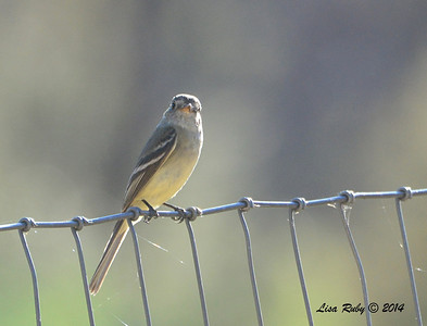 Gray Flycatcher - 4/21/2014 - Beatty's Guest Ranch, Miracle Valley, Arizona