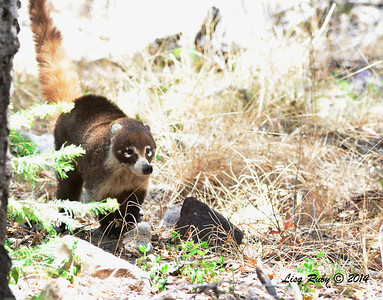 Coatimundi - 4/21/2014 - Ramsey Canyon, Sierra Vista, Arizona