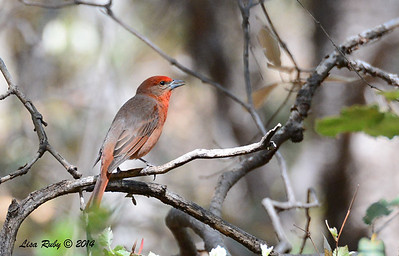 Hepatic Tanager- 4/20/2014 - Huachuca Canyon, Sierra Vista, Arizona