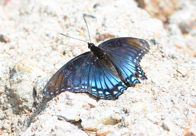 Red spotted Admiral Butterfly - 4/20/2014 - Huachuca Canyon, Sierra Vista, Arizona