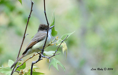 Dusky-capped Flycatcher - 4/20/2014 - Huachuca Canyon, Sierra Vista, Arizona