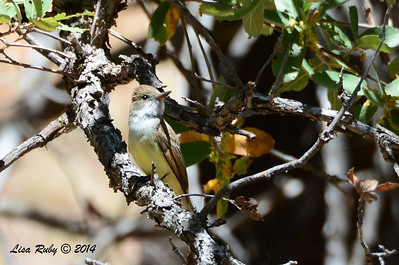 Ash-throated Flycatcher - 4/21/2014 - Ramsey Canyon Preserve
