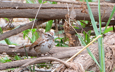 Desert Song Sparrow - 4/19/2014 - San Pedro Riparian Conservation Area, Sierra Vista, Az