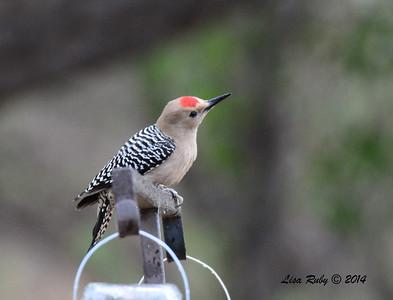 Gila Woodpecker - 4/18/2014 - San Pedro Riparian Conservation Area, Sierra Vista, Az