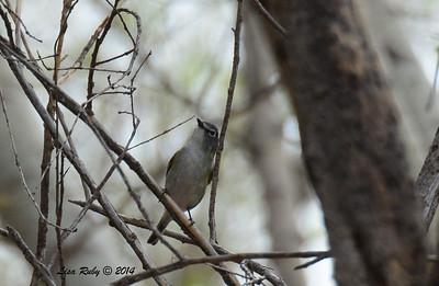 Cassin's Vireo -  4/18/2014 - San Pedro Riparian Conservation Area, Sierra Vista, Az