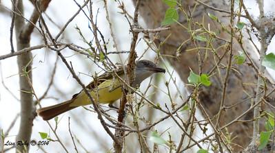 Brown-crested Flycatcher - 4/19/2014 - San Pedro Riparian National Conservation Area, Sierra Vista, Az