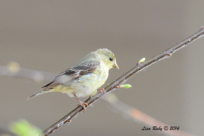 Female Lesser Goldfinch - 4/18/2014 - San Pedro Riparian Conservation Area, Sierra Vista, Az